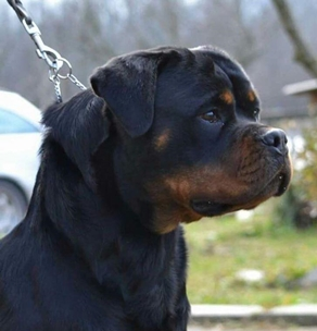 Ri Mobby Dick - Rottweiler Kennel From Serbia